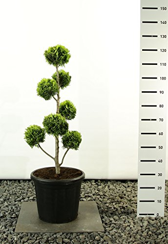 Scheinzypresse Kugel-Formschnitt - Chamaecyparis lawsoniana 'Ivonne' - verschiedene Größen (100-120cm - Ø 36cm -20Ltr.)