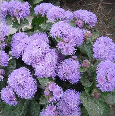2: 500 Unids/lote Ageratum Visón Azul Ageratum Houstonianum Flower Seeds Home Garden