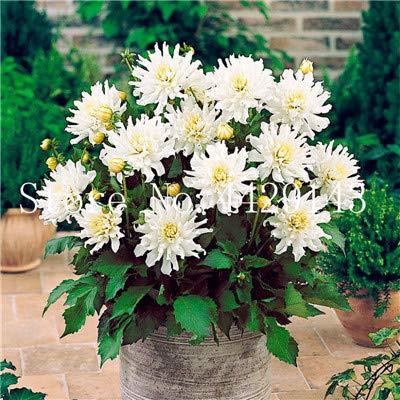 prime vista 100 Teile/Beutel Dahlie Bonsai Heirloom Topf Dahlie Blume, Bonsai Pflanze für Hausgarten DIY Topfpflanze: 11