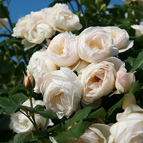 """Kletterrose """"Uetersener Klosterrose (Premium) - cremeweiß blühende Topfrose im 6 L Topf - frisch aus der Gärtnerei - Pflanzen-Kölle Gartenrose"""