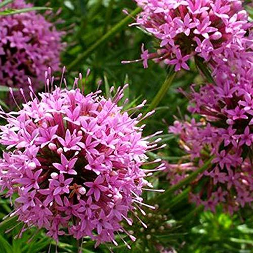 6 x Phuopsis Stylosa - Scheinwaldmeister...