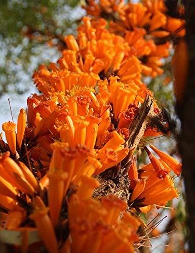PLAT FIRM GERMINATIONSAMEN: 500+ Samen Goldene Trompete Baum Jasmin Mayodendron igneum Radermachera igneaM448