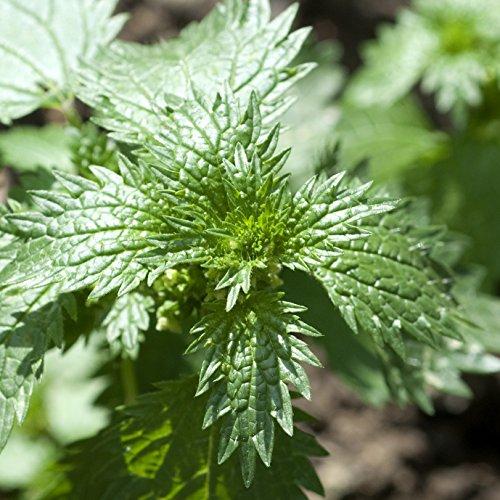 Kleine Brennessel Urtica urens 40 Samen