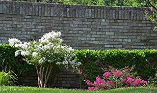 4 Pack - Acoma (White) Crape Myrtle Starter Trees - Quart Containers - Approximately. 1 Foot Tall