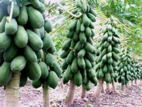Maradol Papaya-Baum-Samen! Wächst Früchte in nur 9 Monaten aus Samen! 10 Samen