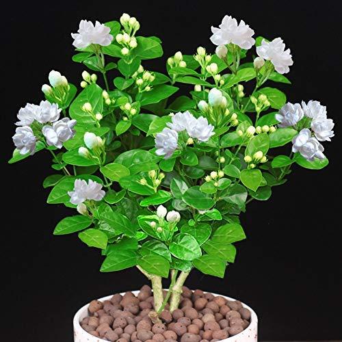 Fash Lady 100 graines/sac Riches fleurs de fleurs de gardénia florales grandes feuilles persistantes graines de pivoine