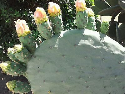 Spineless Nopale Opuntia Cactus Best Tortoise / Turtle Super Food 1+ Lbs