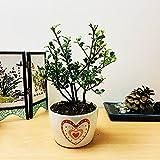 Easy Plants® Japanischer Stechpalmen/Ilex Crenata...