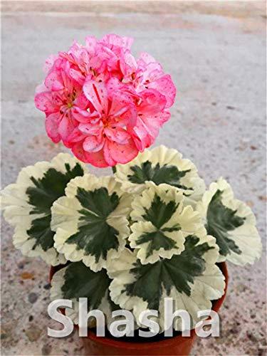 SANHOC Bonsai Geranium 100 Stück Japanische Gelb Ppleblossom Rosebud Pelargonium blühende Geranien Balkonpflanze Für Hausgarten: 21