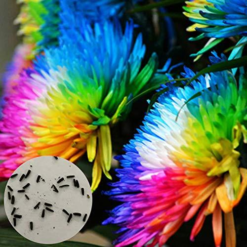 20 st/påse regnbåge krysantemumfrön sällsynta dekorativa växter prydnadsväxter för trädgård kruka gård balkong dekoration