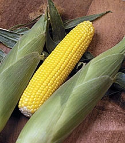 AGROBITS Swecorn F1 Wag 16'Super Swe variy » des semences traitées