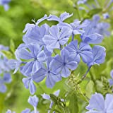 Blue Plumbago auriculata Evergreen Flowering Shrub in a 1.5L Pot 70cm Tall