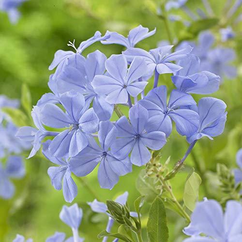 Blue Plumbago auriculata Evergreen Flowering Shrub in a 1.5L Pot 70cm Tall