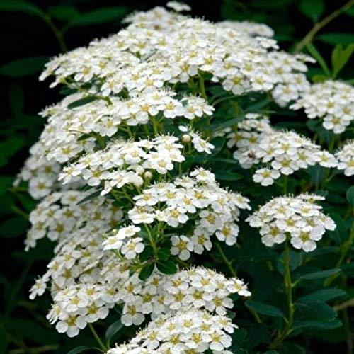 """Spiraea nipponica """"Snowmound"""" (Spirea) [Vaso Ø22cm]"""
