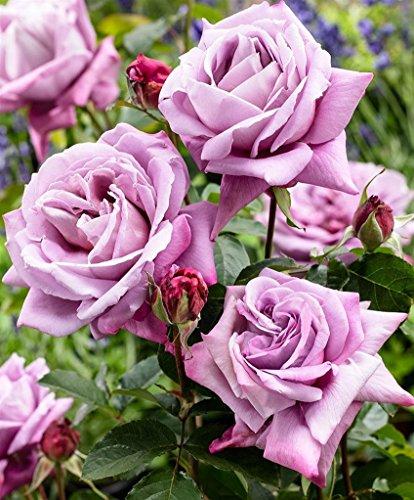 Pianta da esterno roseto ROSA LILLA PLANTARETTE 'REGINA D'AUSTRIA'