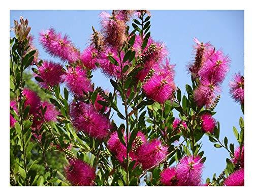 Callistemon viminalis - Olla (9 cm), color rosa