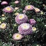 新鮮な1000年シーズ - アスターポンポンライトブルーの花の種
