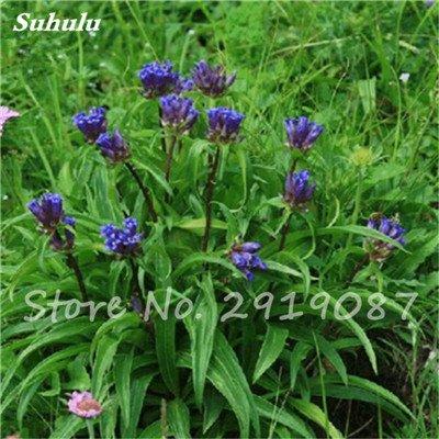 De haute qualité bonsaïs 100 Pcs Largeleaf gentiane Graines vivace Fleur bleue Graine Blooming Plantes Diy jardin Ménage 9