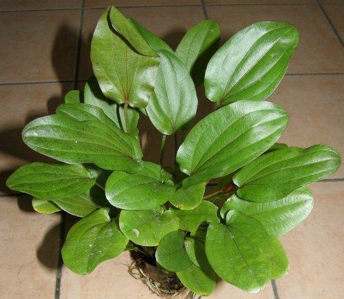 Echinodorus Mutterpflanze XL 25-35 cm, Aquarium