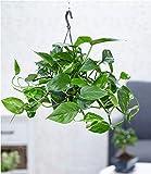 BALDUR Garten Hängepflanze Efeutute, 1 Pflanze Luftreinigende Zimmerpflanze Scindapsus