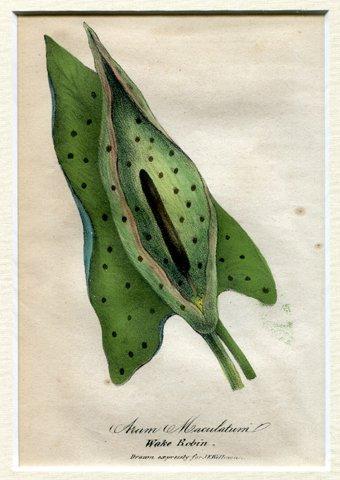gefleckter Aronstab (Arum maculatum) - Farblithographie mit Keilschnitt-Passepartout