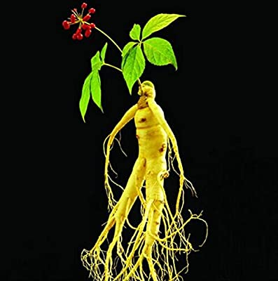 Hot Sale! 10pcs panax ginseng seeds, medicinal herb seeds, seed vegetables plants