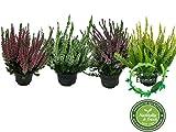 Calluna vulgaris im 4er Set, Besenheide, Winterheide, Calluna Vulgaris, Beauty Ladys