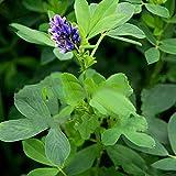 Decoración de balcón de jardín de casa,Semilla de Alfalfa púrpura semilla de Pasto semilla de Pasto de Pescado semilla-Seed_500g,Decoración de paisajismo