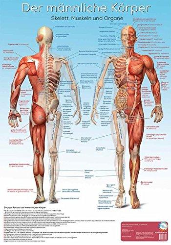 Lernposter Anatomie - Der männliche Körper: Der männliche Körper mit Skelett, Muskeln und Organen