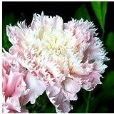 200個カーネーションの種caryophyllus花の種子フラワーポットプラント用Semillas鉢植えレアM愛の花