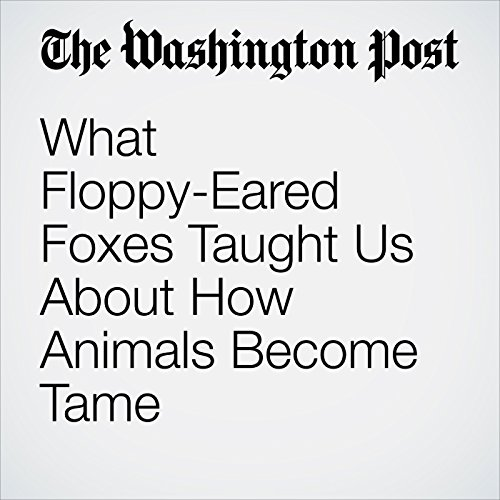 What Floppy-Eared Foxes Taught Us About How Animals Become Tame copertina