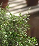 Ocimum Sanctum Holy Basil Herb jocad (10 Seeds)