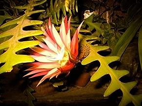 10 Rare Zig Zag Cactus Seeds Fishbone Succulent Epiphyllum Anguliger Hanging