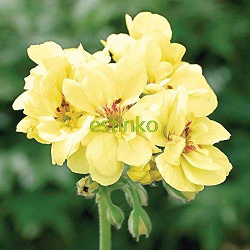 10pcs Rare Géranium Graines crème anglaise Pelargonium vivace Graines de fleurs Hardy Plante Bonsai Plante en pot