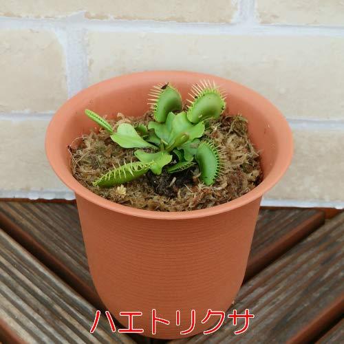 食虫植物 捕食パターンは4種・植物は6種から選べます 4号鉢(水苔処理) 食虫植物 観葉植物 耐寒性多年草 (ハエトリグサ)