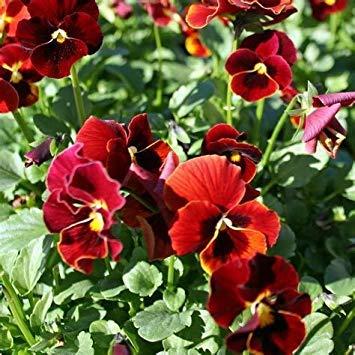 SANHOC Samen-Paket: FreshSeeds - Viola Ark Rubin Blumensamen
