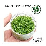 (水草)組織培養 ニューラージパールグラス(無農薬)(1カップ)