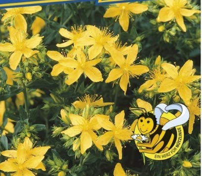 Qulista Samenhaus - Rarität duftend Johanniskraut reichlich gelbe Sternenblüten Schmetterlingen | Blumensamen Saatgut mehrjährig Winterhart