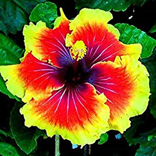 SummerRio Garten- 50 Pcs Selten Riesen Hibiskus Pflanze winterhart Samen Hibiskus Mehrjährige Blume für Vorgarten Steingarten