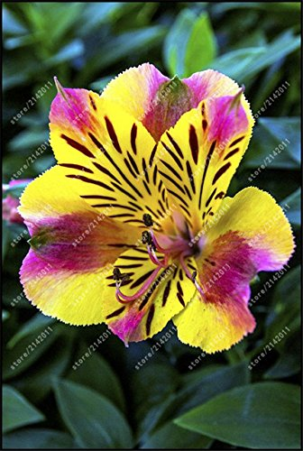 ChinaMarket 100pcs / sac graines Alstroemeria Rare péruvienne Lily Alstroemeria - graines planta