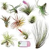Grab Bag Pack Small & Medium Air Plants - Fertilizer Packet - Wholesale - Bulk - Live Tillandsia - Easy Care House Plant - Succulents (Pack of 10)