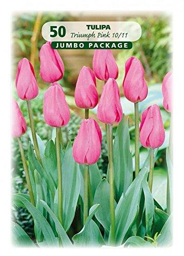 Quedlinburger 308454 Tulpe rosa (50 Stück) (Tulpenzwiebeln)