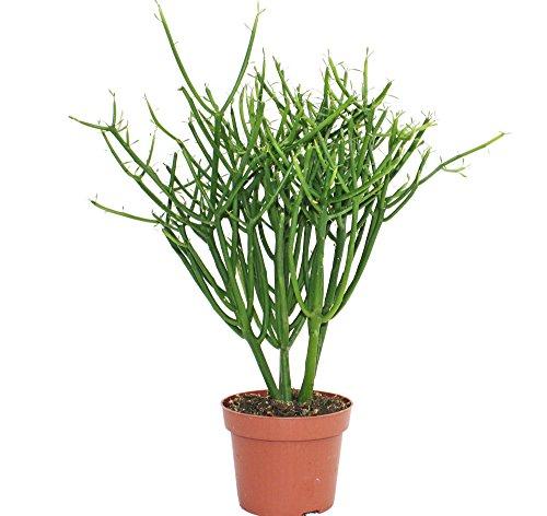 Euphorbia tirucalli - Bleistiftkaktus - grosse Pflanze im 12cm Topf
