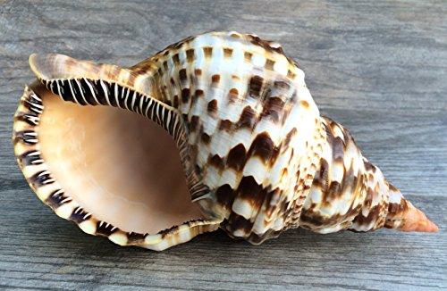 Nautical Crush Trading Triton Shell   1 Triton Sea Shell Large 10.09   Plus Free Wasser Ebook von Joseph Rains