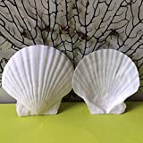 Scallop Shell Natural Seashell from Sea Beach for DIY Craft Decor 1 Box ( 25 pcs)