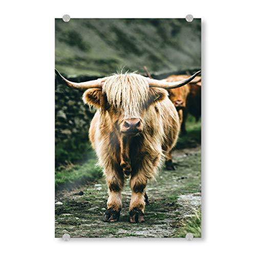artboxONE Acrylglasbild 45x30 cm Tiere Highland Kuh Bild hinter Acrylglas - Bild Highland duh Kuh hochlandrind