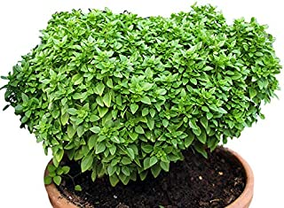 100+ ORGANICALLY GROWN Spicy Globe Dwarf Basil Seeds Heirloom NON-GMO Compact, Delicious and Flavorful, From USA