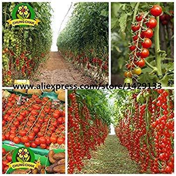Hot Vente 400pcs Offre Spéciale Tomate cerise Seeds 100% Vrai organique Heirloom légumes fruits en pot Bonsai Balcon Cour