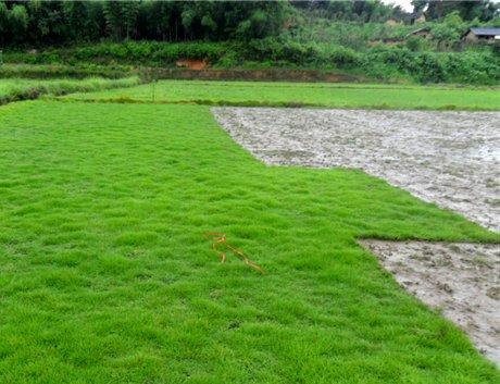 500pcs graines pelouse d'herbe coréenne (Zoysia tenuifolia) Graines Evergreen gazon de j693