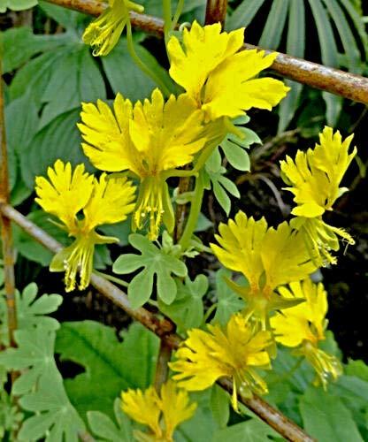 10 Kanarische Kapuzinerkresse Samen, Tropaeolum peregrinum, tolle Blüte, Kanarienvogelblume
